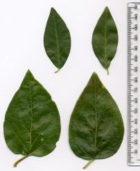Vinca_major-minor_leaves - MPF CC BY SA 2.5