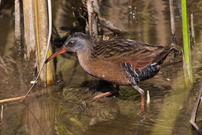 Virginia Rail, Rallus limicola, Morro Bay, CA 05 Sept 2011
