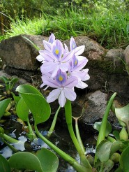 Water Hyacinth CC BY 2.0