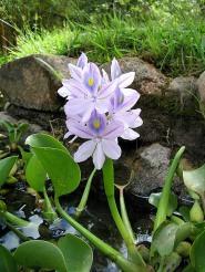 Water Hyacinth CC BY 2.0