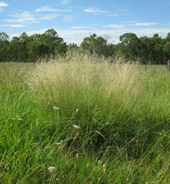 Weeping Lovegrass - - - - Harry Rose CC BY 2.0