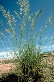 Weeping Lovegrass - USDA - free