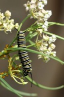 Western Whorled Milkweed Flower and Caterpillar