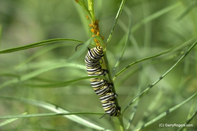 Western Whorled Milkweed and Caterpillar