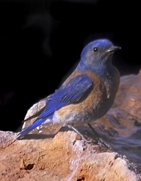 Western_Bluebird COVER 4 By Peter Wallack