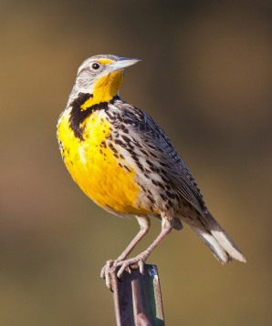 Western_Meadowlark_COVER 4 (Sturnella_neglecta)_By Steve Berardi from Long Beach, CA, United States