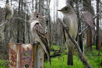 Western_Wood_Pewee_From_The_Crossley_ID_Guide_Eastern_Birds By Richard Crossley