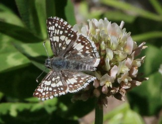White Clover with Common Checkered Skipper