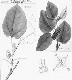 White Mulberry - David Nathanscl Friederich Dietrich Flora Universalis 1831 - Pub domain