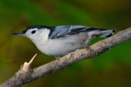 White-breasted_Nuthatch_(Sitta_carolinensis) By Gary Irwin