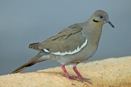 White-winged_Dove_RWD By DickDaniels