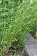 Wild Barley - Rasbak CC BY-SA 2.5