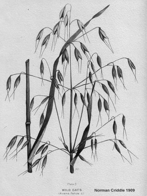 Wild Oats - Name on pic