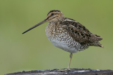 Wilson's Snipe by Gregory - Slobirdr - Smith