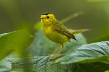 Wilson's_Warbler_By Francesco Veronesi from Italy