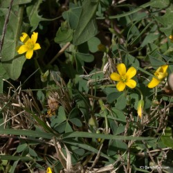 Woodsorrel with grass and Dandelions