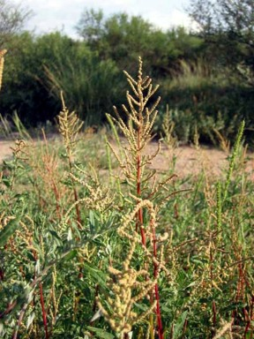 Wright Saltbush - Liz Makings - CC BY-SA.