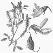 Yellow Sweetclover - E. Hallier, 1885 - Pub domain