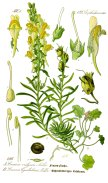 Yellow Toadflax pub domain - 2