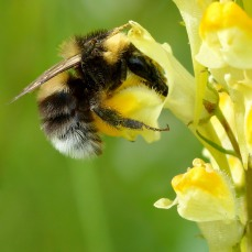 Yellow Toadflax with Garden Bumblebee by Ivar Leidus