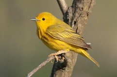 Yellow Warbler By Mdf