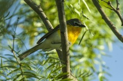 Yellow-breasted_Chat_-_Texas_By Francesco Veronesi from Italy