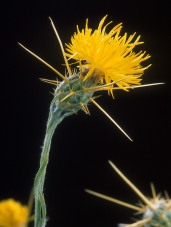 Yellow_star_thistle - Peggy Greb