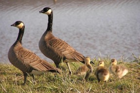 Canada-goose-brood By Tim Bowman, U.S. Fish and Wildlife Service
