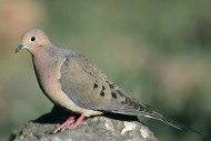 Mourning-dove-bird-standing-on-rock-zenaida-macroura By Menke Dave, U.S. Fish and Wildlife Service