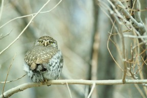 Northern-pygmy-owl-bird-glaucidium-gnoma by Menke Dave, U.S. Fish and Wildlife Service