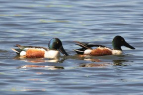 Northern-shoveler-By Dewhurst Donna, U.S. Fish and Wildlife Service