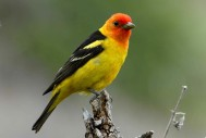 Western-tanager By U.S. Fish and Wildlife Service